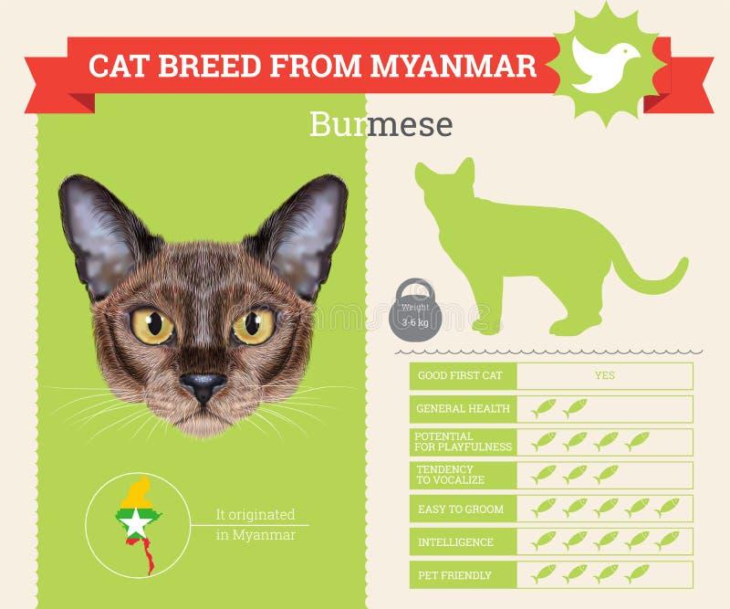 Βιρμανός infographics φυλής γατών απεικόνιση αποθεμάτων