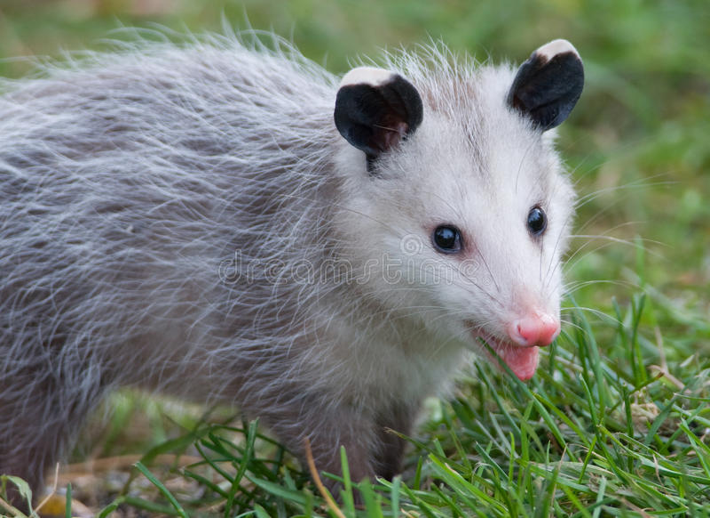 Βιρτζίνια Oppossum στοκ εικόνα