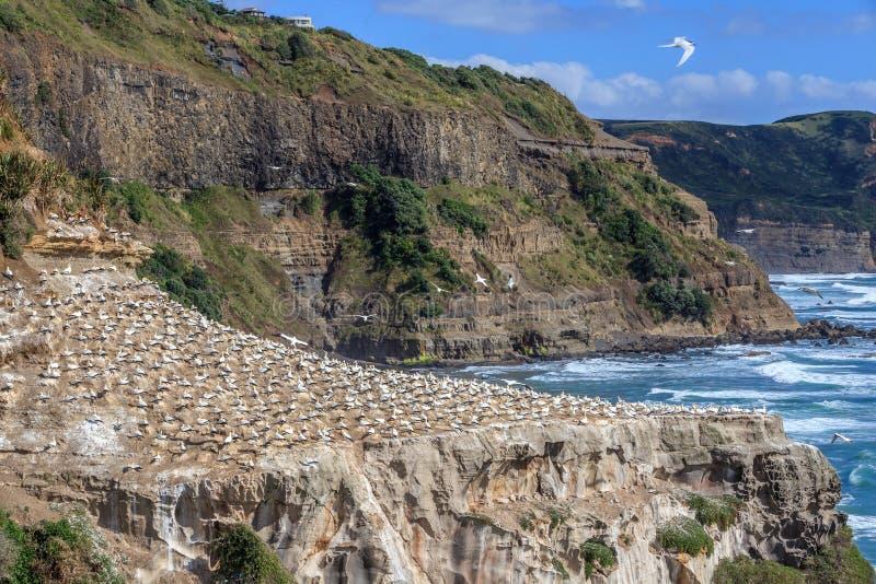 Βιότοπος αποικιών Gannet στην ακτή Muriwai στοκ εικόνα