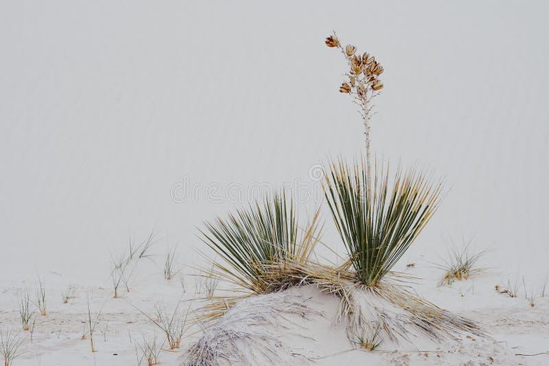 Βλάστηση ερήμων Yucca Soaptree στις άσπρες άμμους εθνικό Monumen στοκ φωτογραφία με δικαίωμα ελεύθερης χρήσης