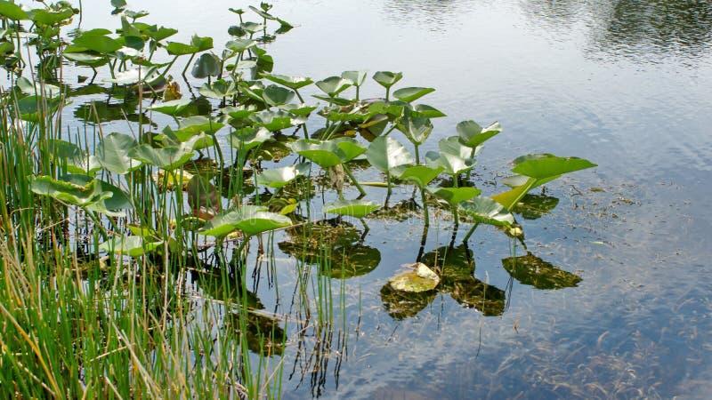 Βλάστηση στο Everglades στοκ φωτογραφίες με δικαίωμα ελεύθερης χρήσης
