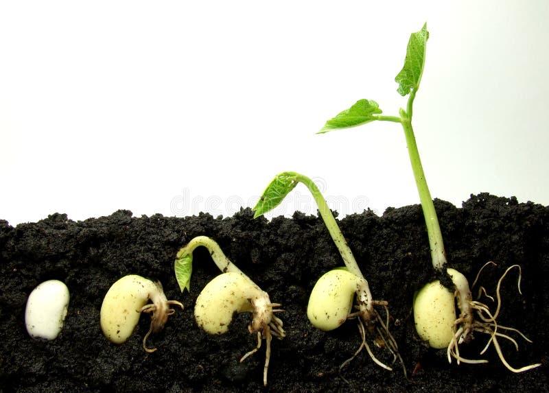βλασταίνοντας φυτό στοκ εικόνα με δικαίωμα ελεύθερης χρήσης
