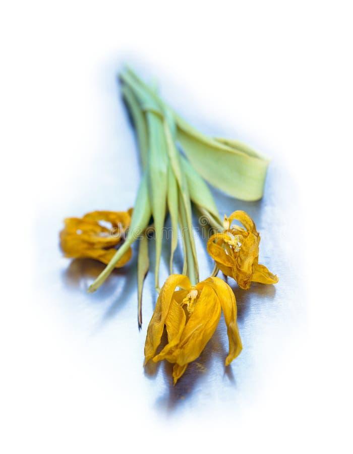 Βλαστημένες κίτρινες τουλίπες στη δροσερή μπλε σύσταση χάλυβα Ηλικία έννοιας με την ομορφιά στοκ φωτογραφίες