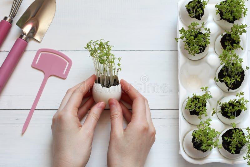 Βλαστημένοι νεαροί βλαστοί σε ένα κοχύλι αυγών στα θηλυκά χέρια στοκ εικόνα με δικαίωμα ελεύθερης χρήσης