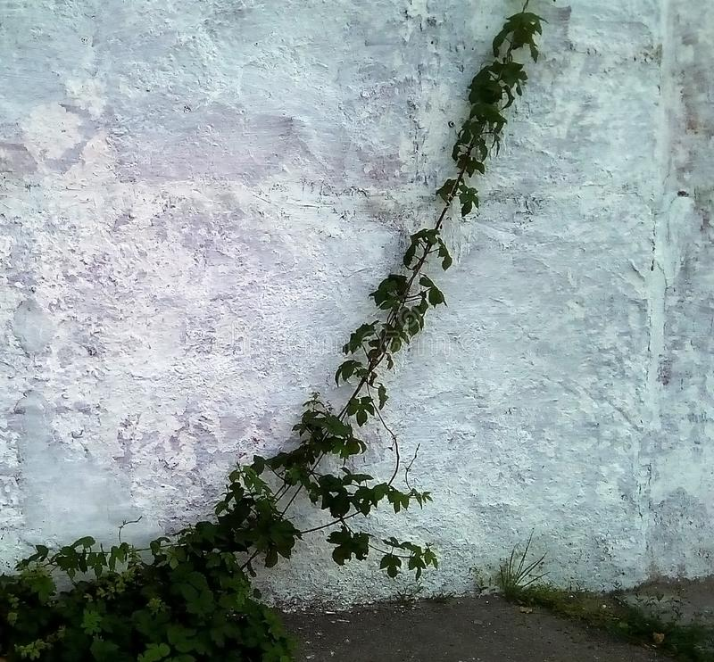 Βλαστοί των άγριων σταφυλιών ενάντια σε έναν ελαφρύ χρωματισμένο τοίχο στοκ εικόνα