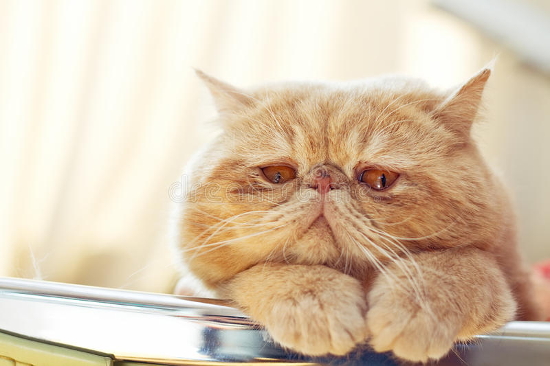 Βλαστός πορτρέτου του εσωτερικού γατών CPA στοκ εικόνες με δικαίωμα ελεύθερης χρήσης