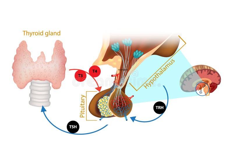 Βλεννογόνος ορμόνη θυροειδή υποθαλάμων διανυσματική απεικόνιση