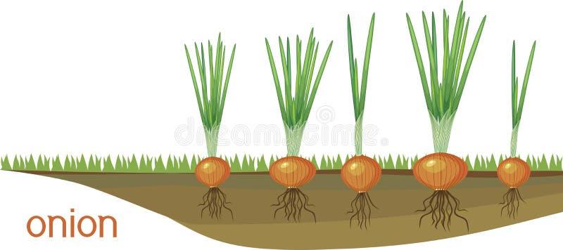 Βολβοί κρεμμυδιών με τα πράσινα φύλλα και σύστημα ρίζας στο φυτικό μπάλωμα απεικόνιση αποθεμάτων