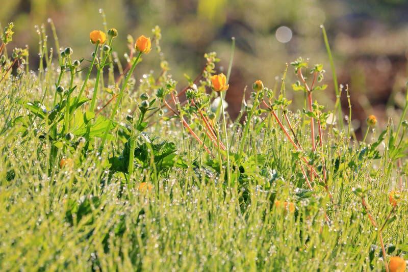 Βολβοειδής ανάπτυξη νεραγκουλών στο λιβάδι στοκ φωτογραφία με δικαίωμα ελεύθερης χρήσης
