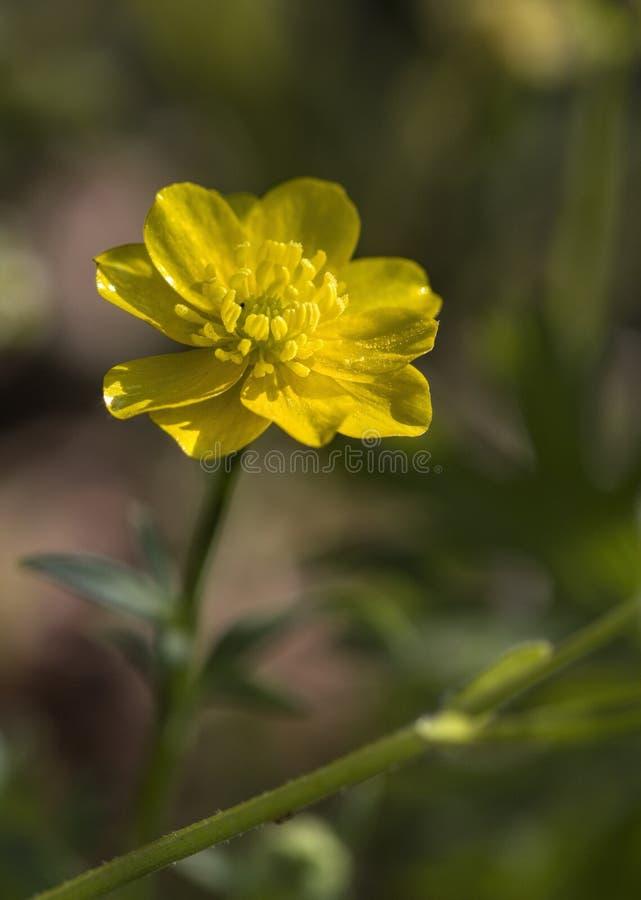 Βολβοειδής νεραγκούλα - bulbosus Wildflower βατραχίων στοκ εικόνα με δικαίωμα ελεύθερης χρήσης