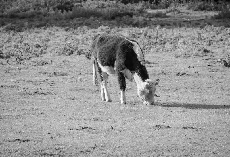 Βοοειδή βάλτων Coe meadowland στο Καίμπριτζ σε γραπτό στοκ εικόνα με δικαίωμα ελεύθερης χρήσης