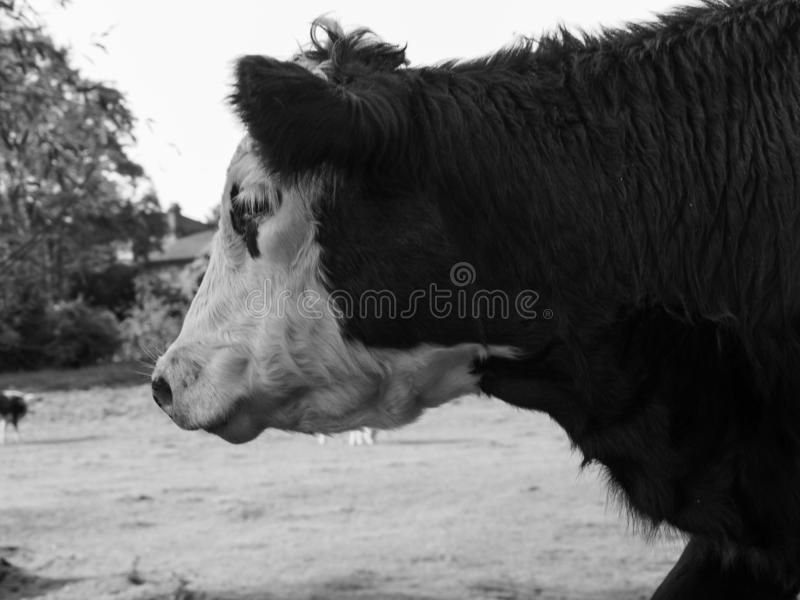 Βοοειδή βάλτων Coe meadowland στο Καίμπριτζ σε γραπτό στοκ εικόνες