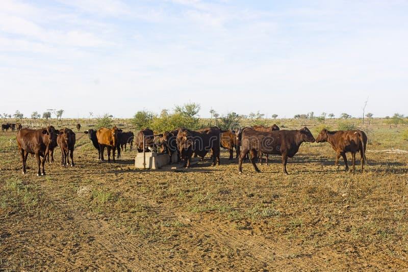 Βοοειδή βόειου κρέατος στη γούρνα νερού στοκ φωτογραφίες με δικαίωμα ελεύθερης χρήσης
