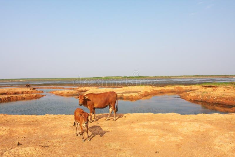 βοοειδή δύο στοκ εικόνες