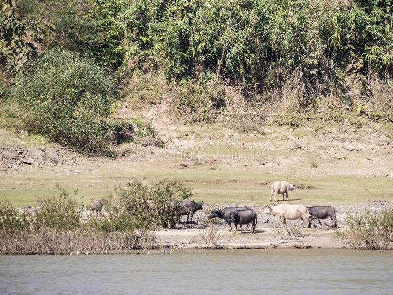 Βοοειδή στην πλευρά του ποταμού στοκ εικόνα με δικαίωμα ελεύθερης χρήσης