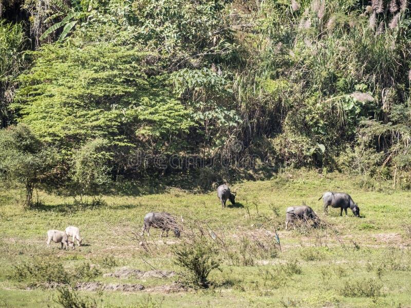 Βοοειδή στην πλευρά του ποταμού στοκ εικόνες με δικαίωμα ελεύθερης χρήσης
