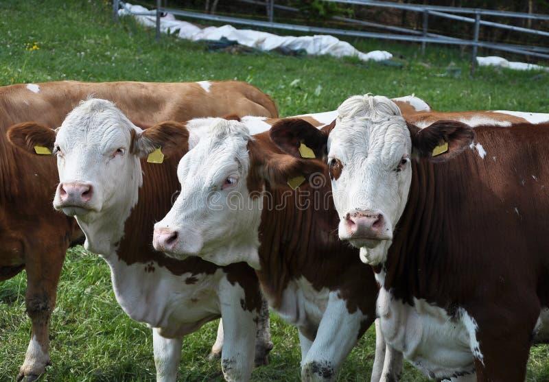 Βοοειδή στη βοσκή του εδάφους στοκ εικόνες