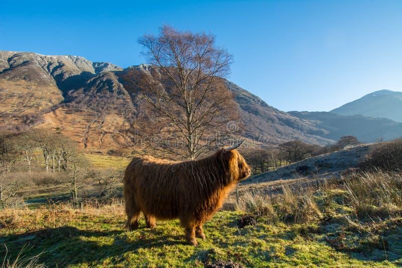 Βοοειδή ορεινών περιοχών στοκ φωτογραφία με δικαίωμα ελεύθερης χρήσης