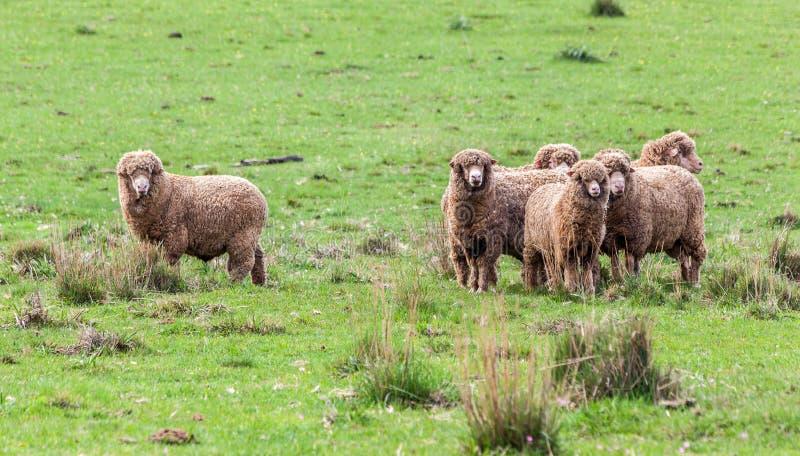 Βοοειδή προβάτων στοκ εικόνες με δικαίωμα ελεύθερης χρήσης