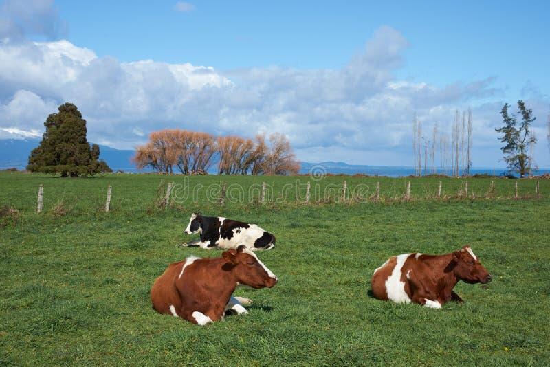 Βοοειδή στην αγροτική Χιλή στοκ εικόνα