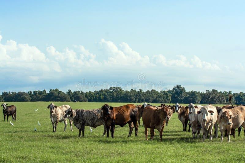 Βοοειδή στο υπόβαθρο λιβαδιού στοκ εικόνες