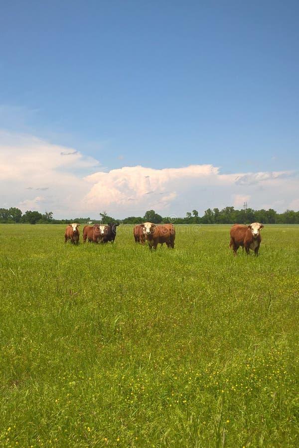 βοοειδή hereford στοκ εικόνα με δικαίωμα ελεύθερης χρήσης