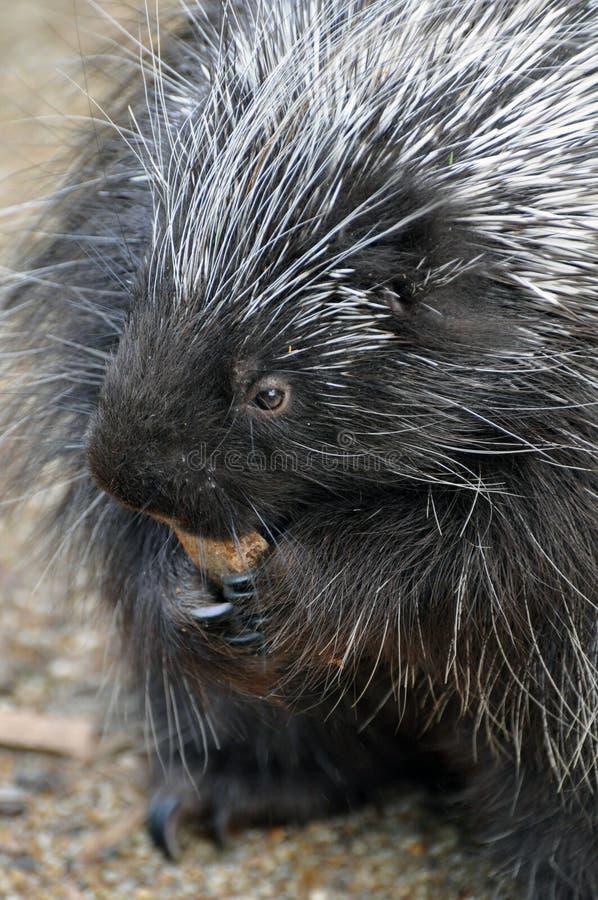Βορειοαμερικανικό Porcupine στοκ φωτογραφία με δικαίωμα ελεύθερης χρήσης