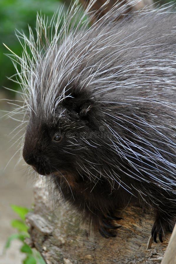 Βορειοαμερικανικό Porcupine στοκ εικόνες με δικαίωμα ελεύθερης χρήσης