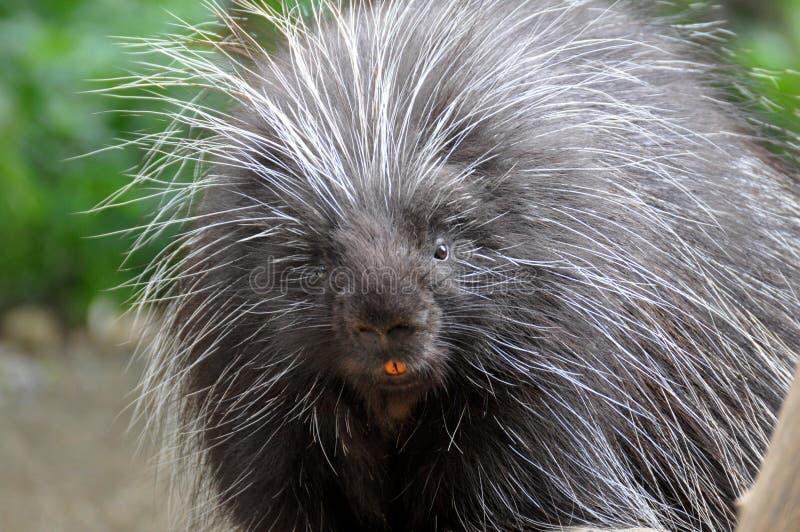Βορειοαμερικανικό Porcupine στοκ φωτογραφίες με δικαίωμα ελεύθερης χρήσης