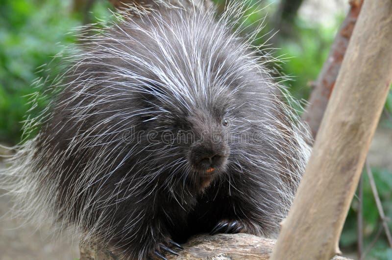 Βορειοαμερικανικό Porcupine στοκ εικόνες