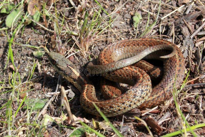 Βορειοδυτικό Garter φίδι που κουλουριάζεται στοκ φωτογραφία