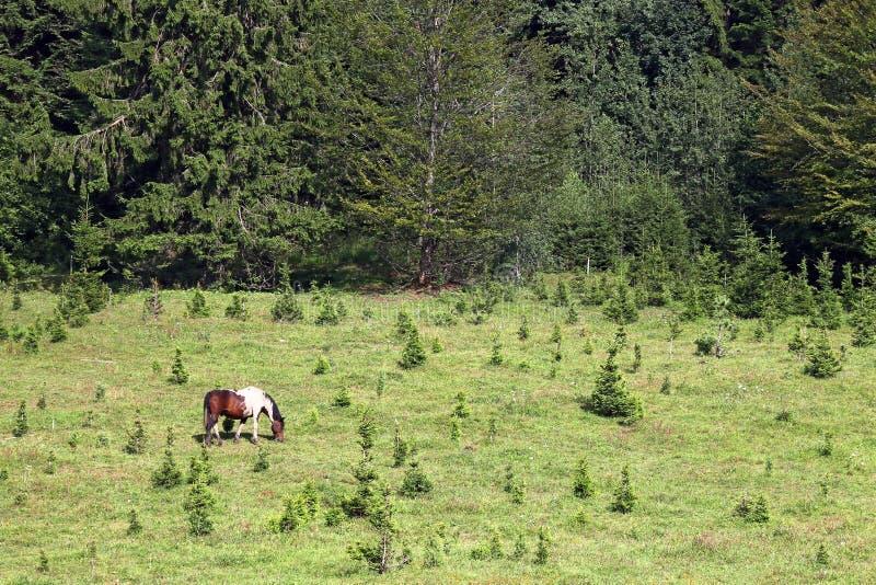 Βοσκή αλόγων σε ένα βουνό κοντά στο δάσος στοκ φωτογραφίες με δικαίωμα ελεύθερης χρήσης
