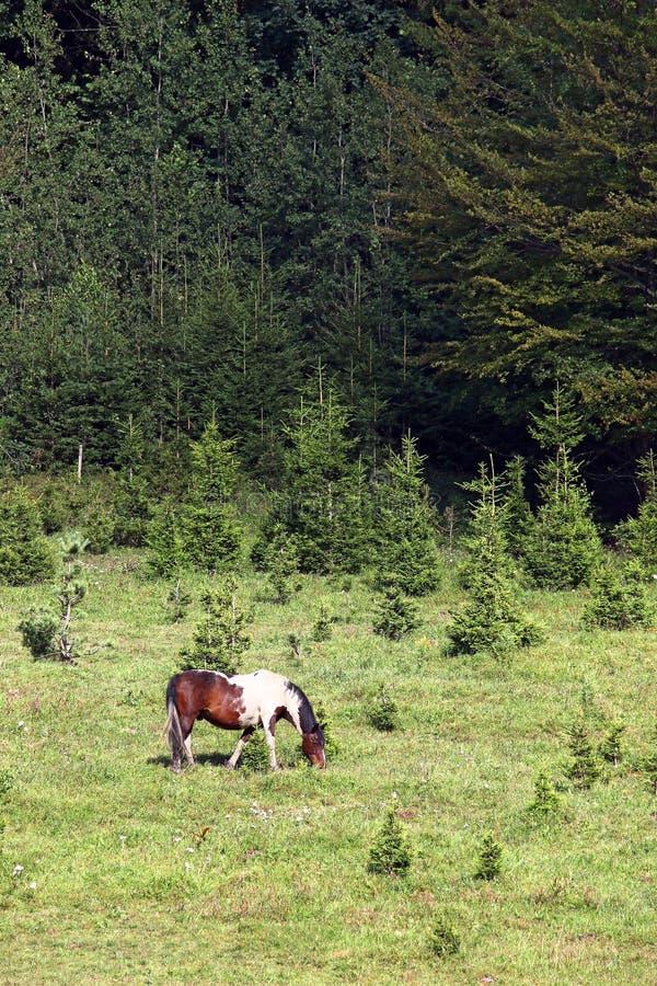 Βοσκή αλόγων σε ένα βουνό κοντά στο δασικό καλοκαίρι στοκ φωτογραφίες με δικαίωμα ελεύθερης χρήσης
