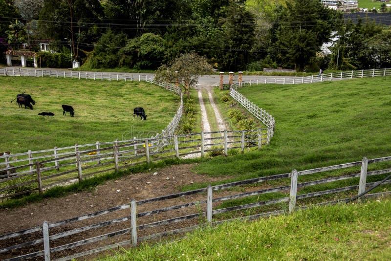 Βοσκή βοοειδών στο πολύβλαστο πράσινο λιβάδι στην είσοδο στο φρύδι Antioquia στοκ φωτογραφία με δικαίωμα ελεύθερης χρήσης