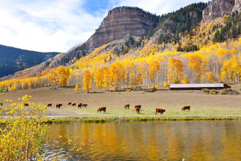 Βοσκή βοοειδών υψηλή στα βουνά στοκ φωτογραφία