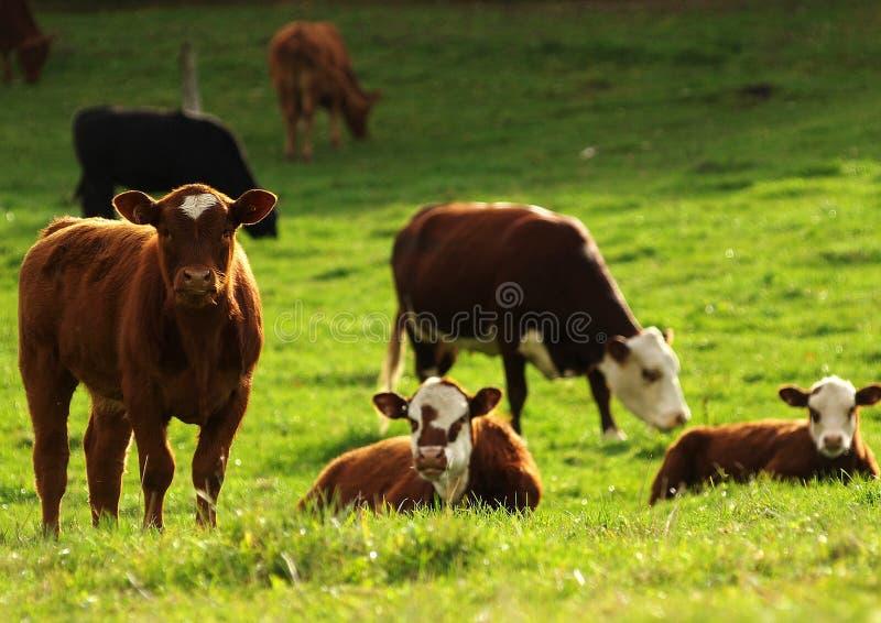 βοσκή βοοειδών στοκ εικόνες με δικαίωμα ελεύθερης χρήσης