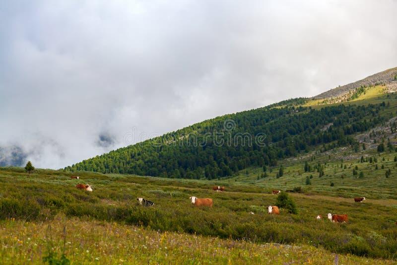 Βοσκή κοπαδιών αγελάδων σε ένα όμορφο πράσινο στοκ φωτογραφία