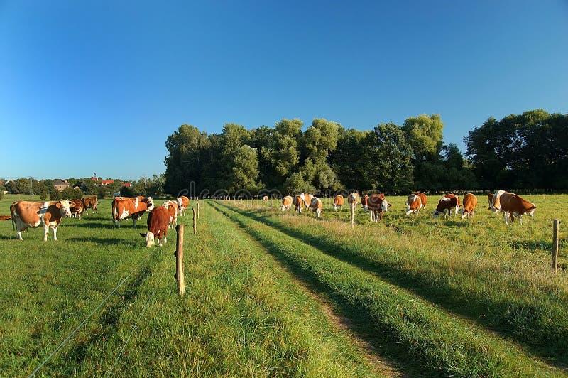 Download βοσκή μονοπατιών αγελάδ&omega Στοκ Εικόνα - εικόνα από beefburger, πράσινος: 13183241