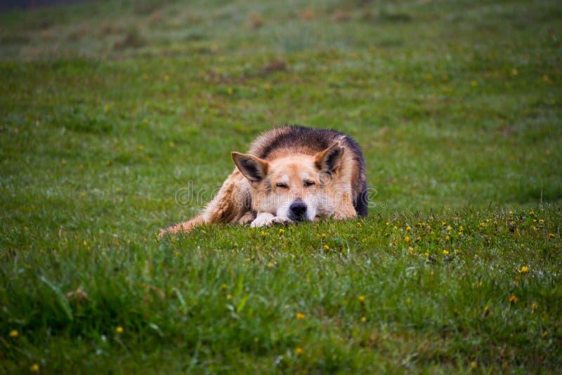 βοσκή σκυλιών στοκ εικόνες με δικαίωμα ελεύθερης χρήσης