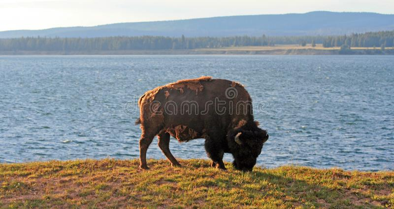 Βοσκή του Bull Buffalo βισώνων δίπλα στη λίμνη Yellowstone στο εθνικό πάρκο Yellowstone στο Ουαϊόμινγκ ΗΠΑ στοκ εικόνες