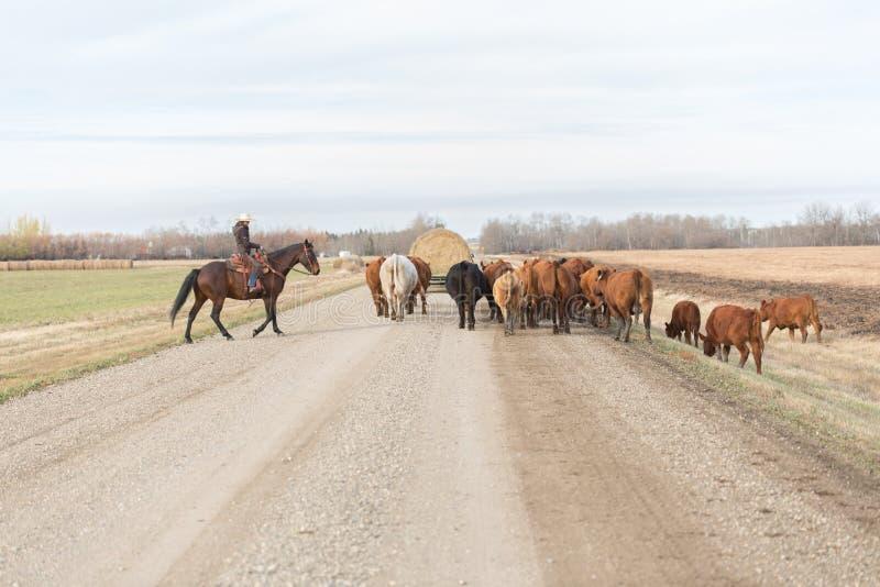 Βοσκή των βοοειδών κάτω από έναν βρώμικο δρόμο στοκ φωτογραφία με δικαίωμα ελεύθερης χρήσης