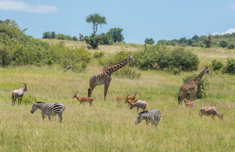 Βοσκή Herbivores στην Αφρική στοκ φωτογραφία με δικαίωμα ελεύθερης χρήσης