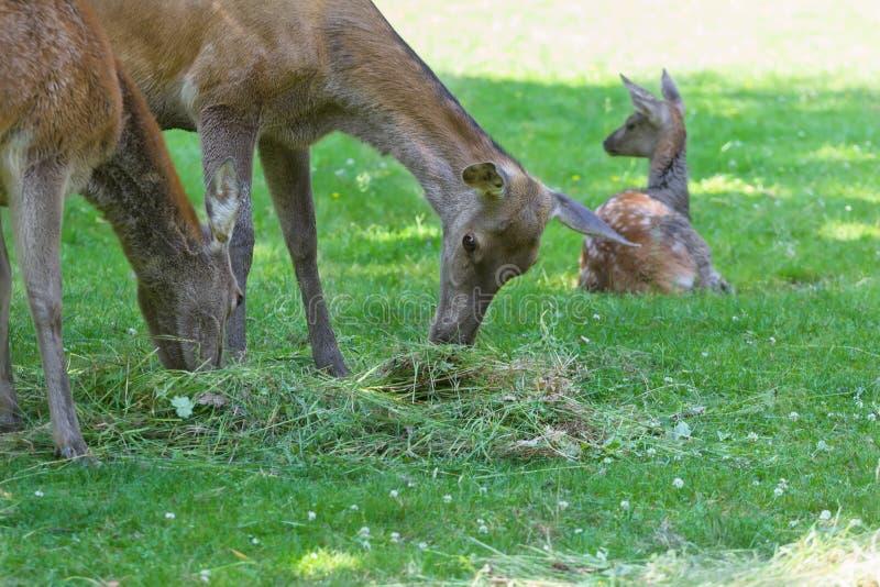 Βοσκή hinds ή κόκκινο θηλυκό ελαφιών με τη στήριξη fawn στο θερινό λιβάδι στοκ φωτογραφία