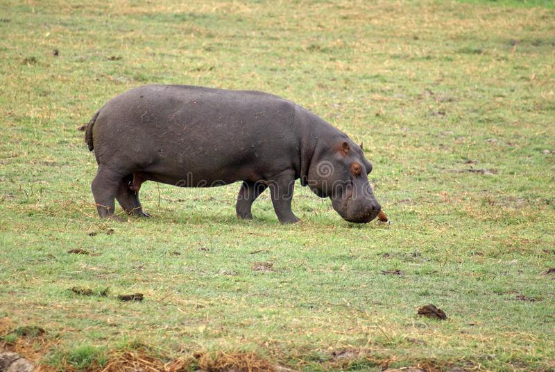Βοσκή Hippo στη Μποτσουάνα στοκ φωτογραφία