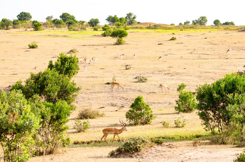 Βοσκή Impalas στο πάρκο Maasai Mara στοκ εικόνες
