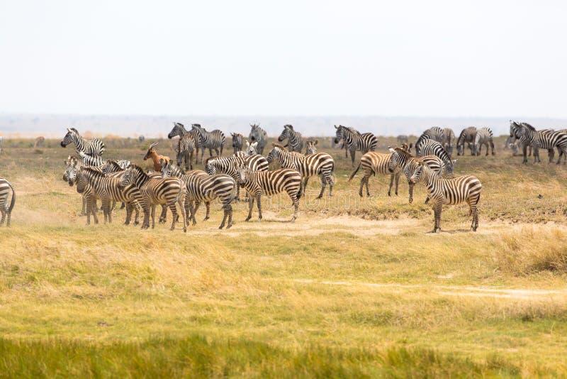 Βοσκή Zebras στην Τανζανία στοκ φωτογραφία με δικαίωμα ελεύθερης χρήσης