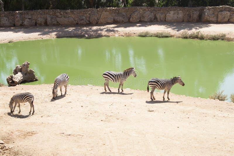 Βοσκή Zebras στη λίμνη στοκ φωτογραφίες