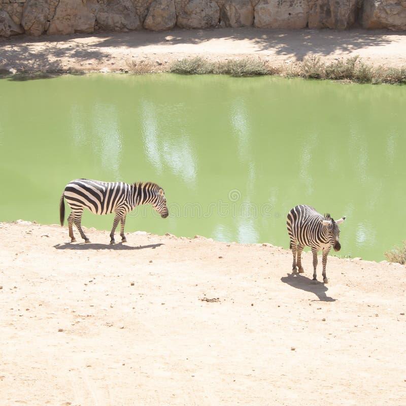 Βοσκή Zebras στη λίμνη στοκ εικόνες