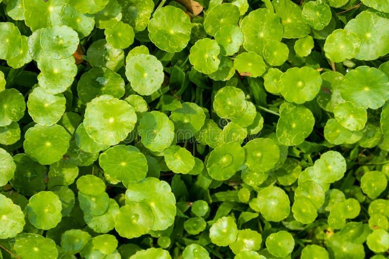 Βοτανικά φύλλα ιατρικής Centella Asiatica στοκ φωτογραφία