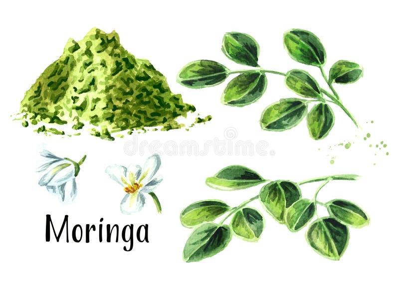 Βοτανικά Moringa φύλλα με τη σκόνη και λουλούδια καθορισμένα Superfood Συρμένη χέρι απεικόνιση Watercolor που απομονώνεται στο άσ στοκ φωτογραφίες με δικαίωμα ελεύθερης χρήσης